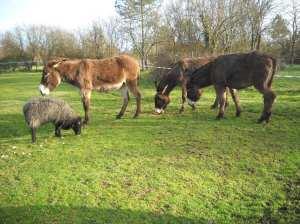 Bouboule et les ânes