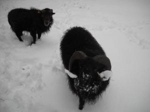 Bô et caramel dans la neige