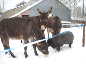 Ânes et mouton sous la neige