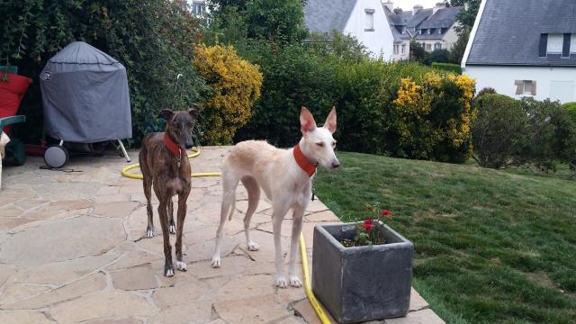 Le lévrier espagnol est un chien réservé, doux, posé et très affectueux avec ses maîtres, ceux présents sur le territoire sont issus de sauvetage.