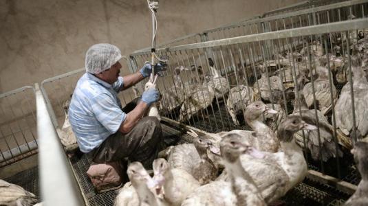 Un employé gave un canard dans un élevage de Soultz-les-Bains (Bas-Rhin), le 18 novembre 2014.