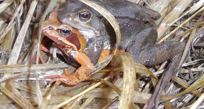 La grenouille, rousse ou verte, est très prisée des connaisseurs qui n'hésitent pas à braconner. / Photo illustration.