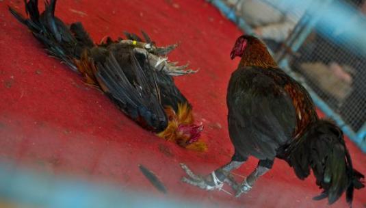 Les combats de coqs organisé à Blendecques en 2015 avait été autorisés par la préfecture. Photo archives Pascal Bonnière VDNPQR